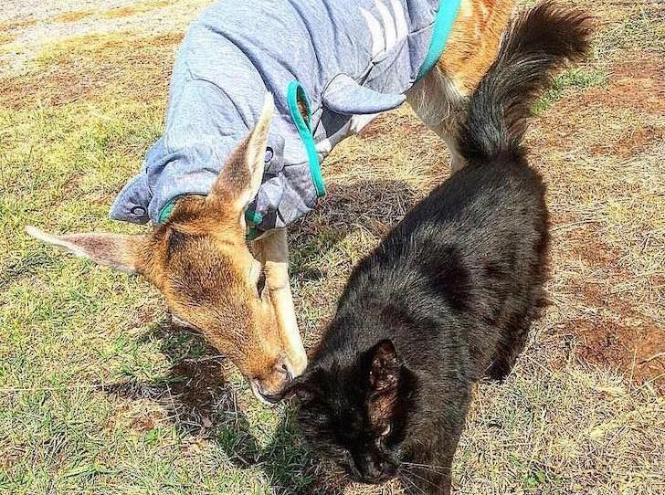 this-baby-deer-was-found-with-a-missing-leg-guess-what-happened-to-him-next_11