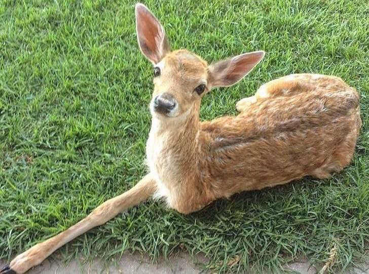 this-baby-deer-was-found-with-a-missing-leg-guess-what-happened-to-him-next_2