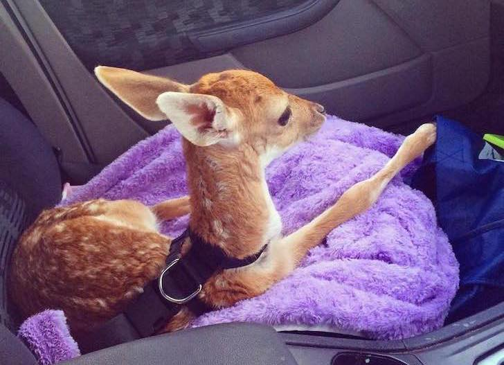 this-baby-deer-was-found-with-a-missing-leg-guess-what-happened-to-him-next_3