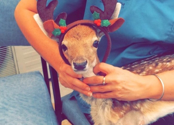this-baby-deer-was-found-with-a-missing-leg-guess-what-happened-to-him-next_6