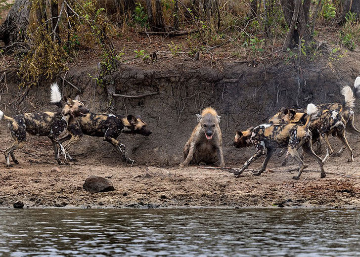 this-hyena-was-cornered-by-a-pack-of-wild-dogs-but-what-it-does-next-is-genius_1