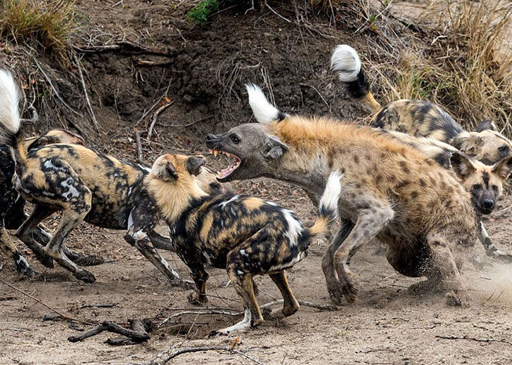 this-hyena-was-cornered-by-a-pack-of-wild-dogs-but-what-it-does-next-is-genius_3
