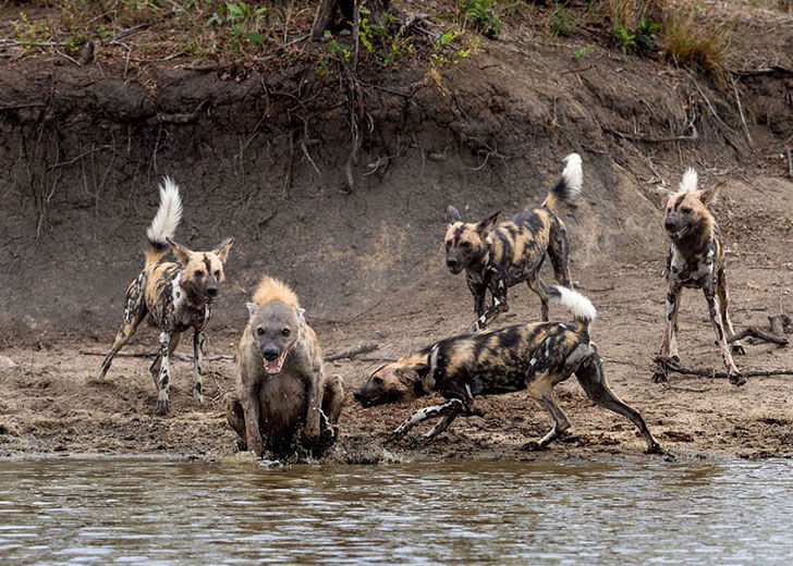 this-hyena-was-cornered-by-a-pack-of-wild-dogs-but-what-it-does-next-is-genius_6