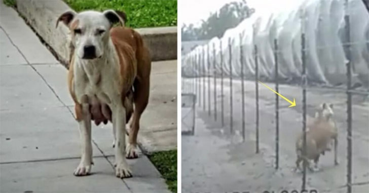 this-stray-dog-would-not-stop-crying-then-she-revealed-a-hiding-spot…_5