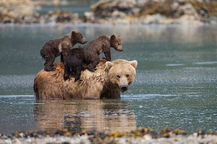 two-bear-cubs-left-to-drown-by-their-mother-are-miraculously-saved-by-unexpected_3