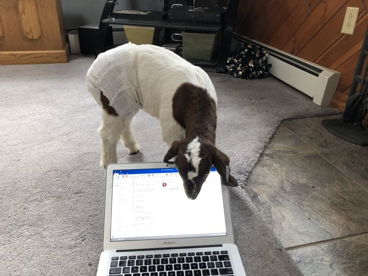 Working From Home: 20 Funny Moments Of Your Pet Colleagues_21