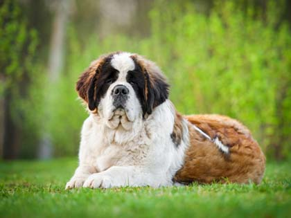 How To Clean A St. Bernard
