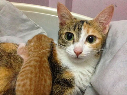 papa-cats-behaviour-shocked-everyone-on-the-internet-when-mama-cat-gave-birth-to-kittens