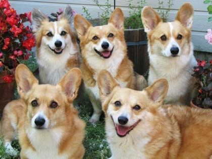 The Girl Is Covered By Those Adorable Corgis