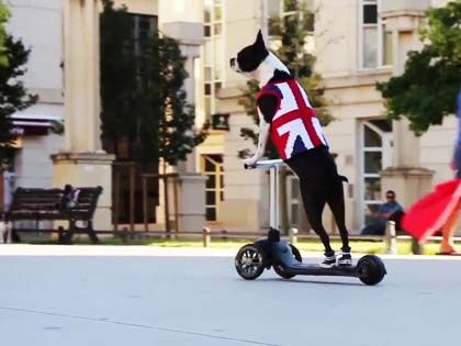 Unbelievable! A Cool French Bulldog Is Riding A Scooter!