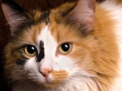 Why Calico Cats Are Distinctive?
